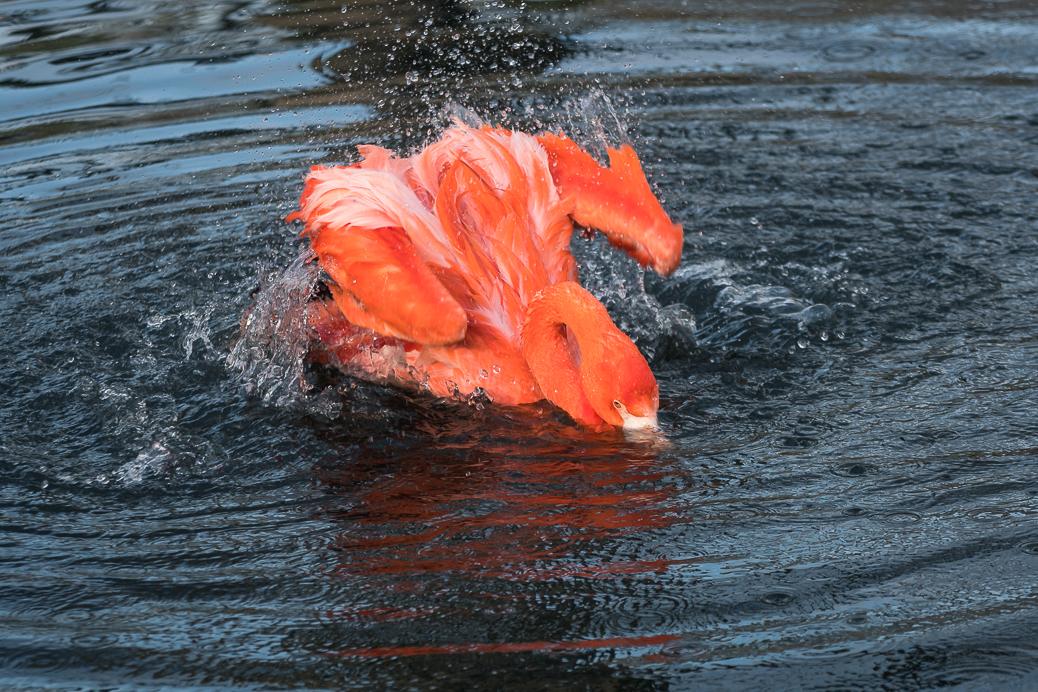 Flamingo beim Baden
